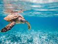seychelles-hawksbill-sea-turtle